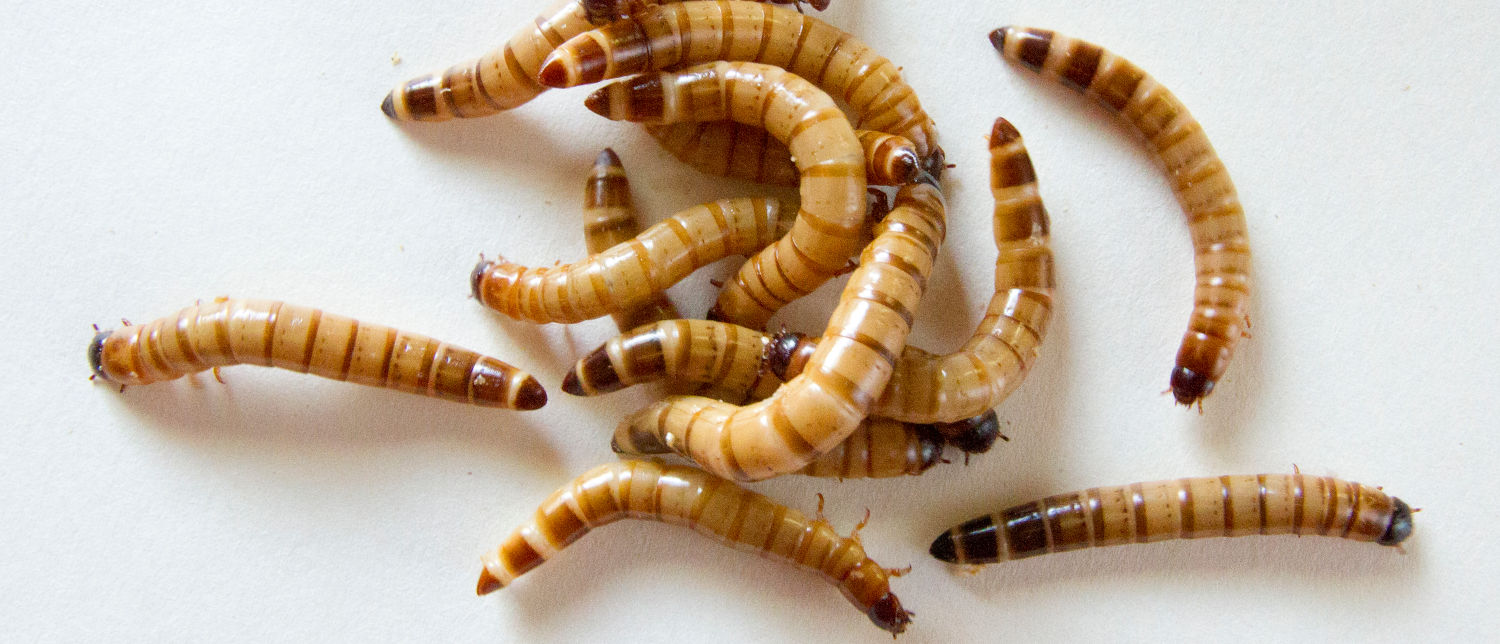 close up of a group of mealworms on a white background