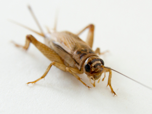 cricket from the front on a white background