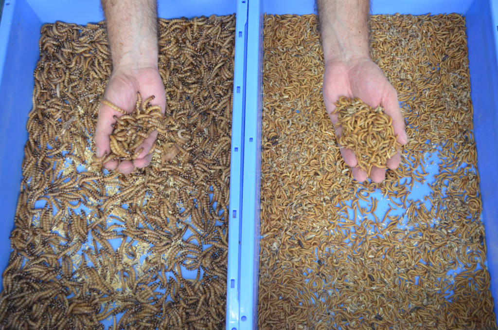 A hand full of giant and yellow mealworms over two blue mealworm trays