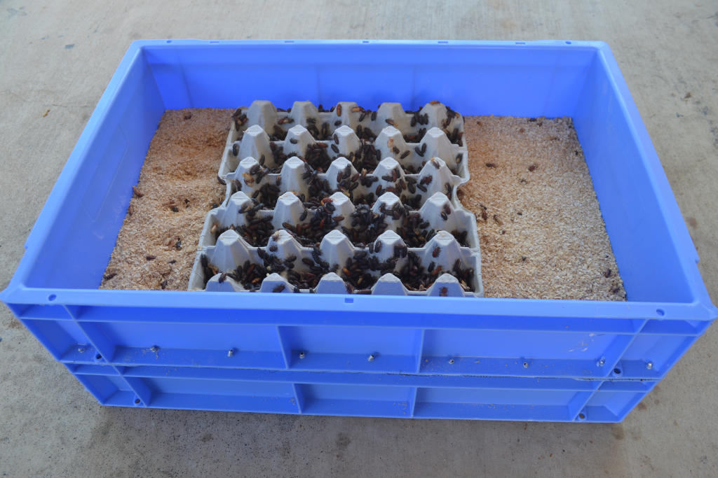 photo of a screen mealworm breeding method comprising of two trays on top of each other. Top tray has bran and egg cartons in it, the bottom tray is covered by top tray.