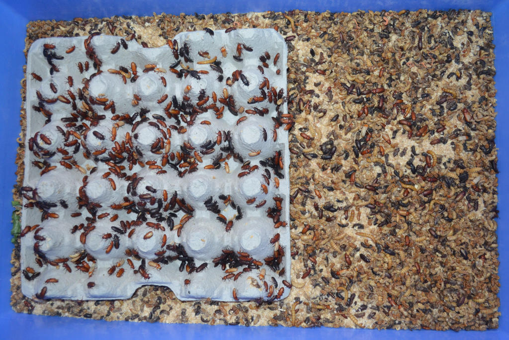 photo of mealworm pupa and beetles in a blue mealworm tray. Beetles have climbed onto square egg carton