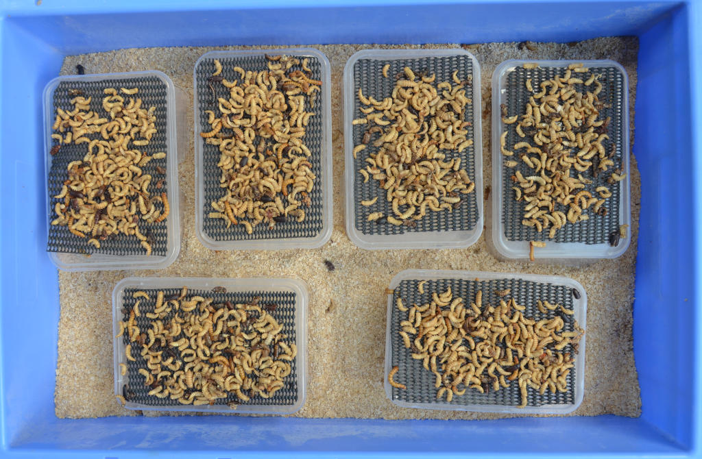 photo of mealworm pupa on six raised platforms. Hundreds of pupa will emerge as beetles and fall off the platforms into the meal below