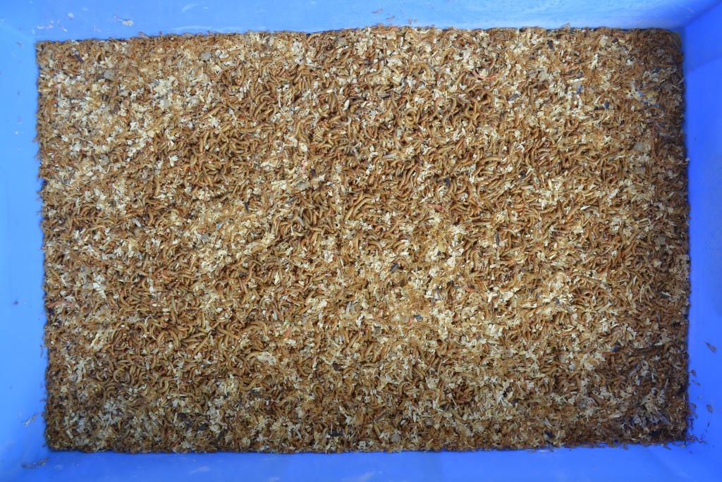 photo of large numbers of yellow mealworms and bran, in a blue tray
