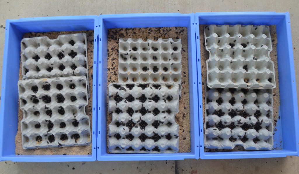 photo of three mealworm trays with egg cartons. Large amounts of beetles are located within each cup of the square egg cartons. Cartons are on meal.