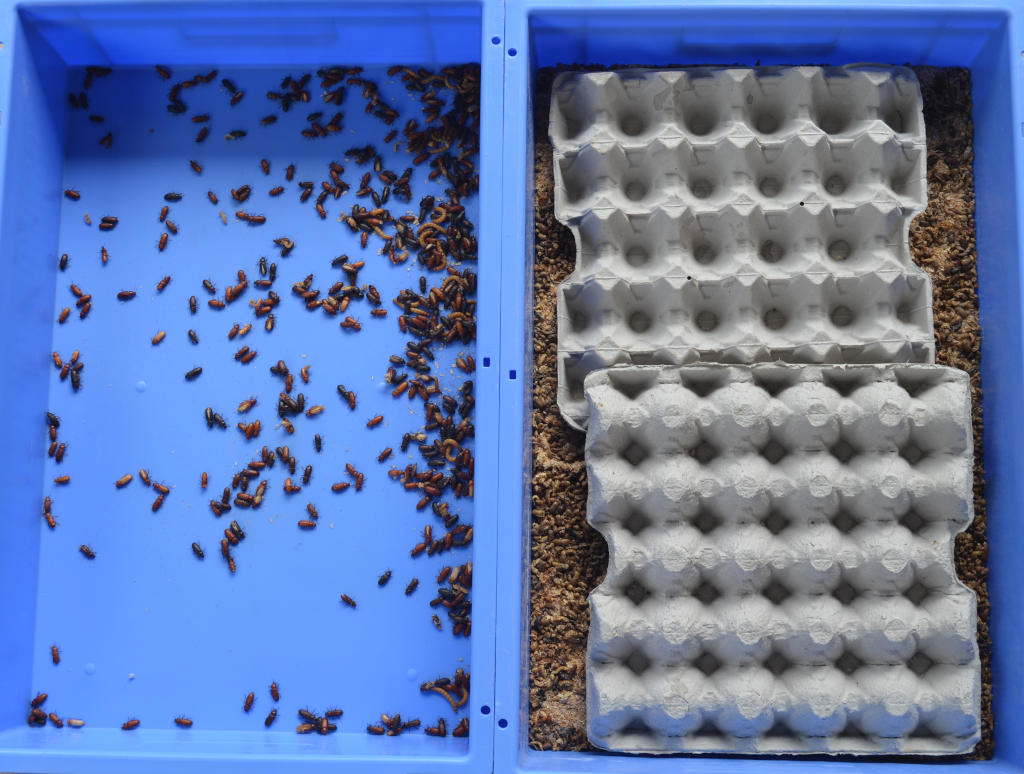 photo of mealworm beetles being separated from substrate using egg cartons. Two trays are side by side, one with just beetles (no substrate) and the second filled with substrate and egg cartons.