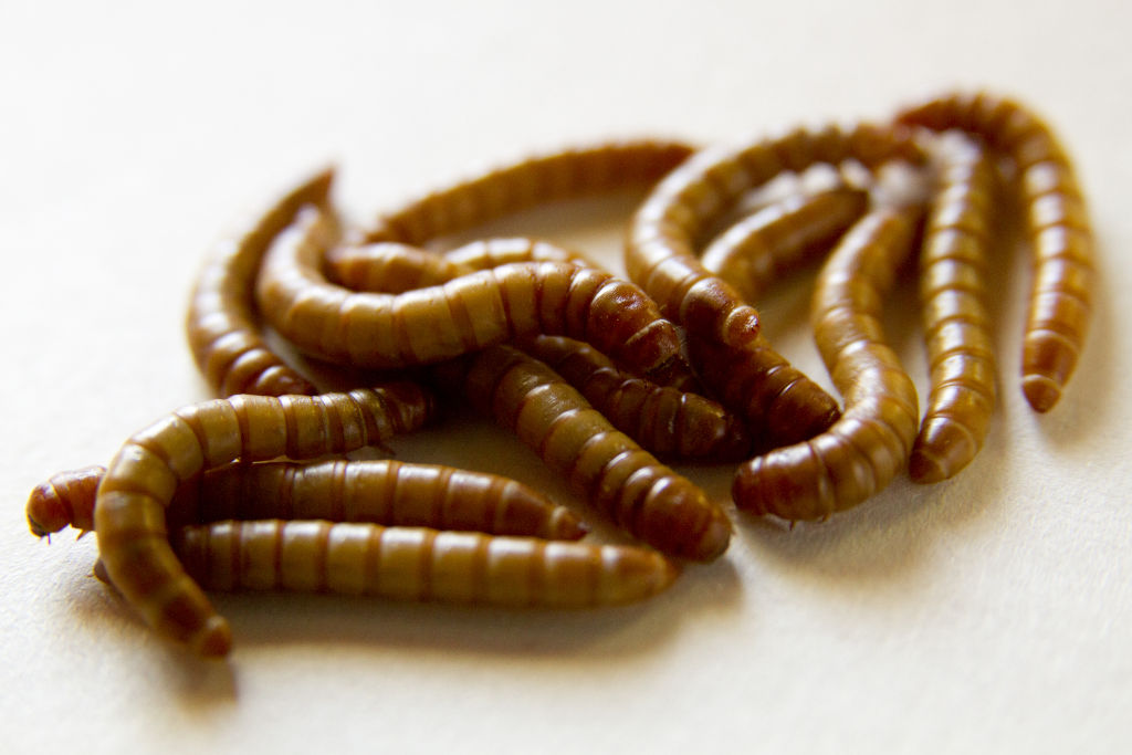 photo of a group of yellow mealworms close up on a white background