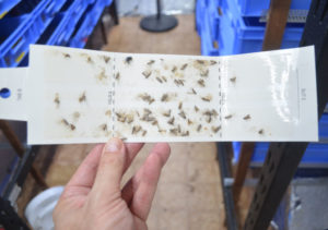 photo of moths trapped on sticky insect traps. Trap is held up by a hand, with a mealworm farm in the background.