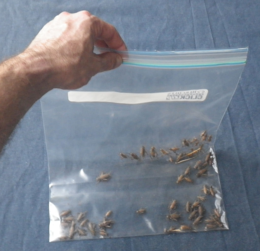 photo of crickets being dusted to feed to insect eating animals such as reptiles and wildlife. Crickets are in a clear zip lock bag to which you add dusting powder.