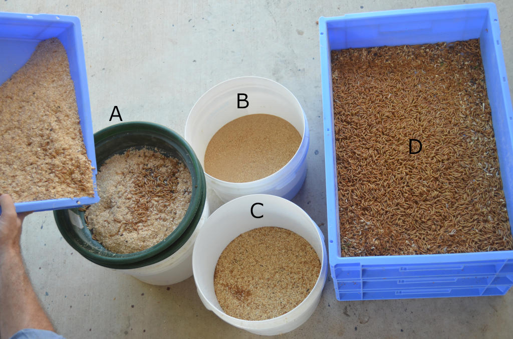 Photo of filtering of mealworm frass. Four separate fractions are shown A) mealworms and frass from blue tray B) frass in white bucket C) substrate after filtering in white bucket D) filtered worms in blue tray, no substrate