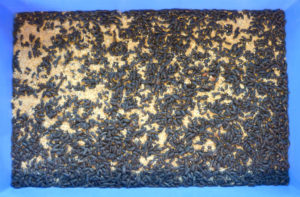 Photo of 1 liter of yellow mealworm beetles in bran. Beetles are in a blue mealworm tray.
