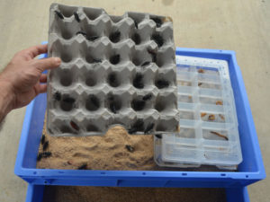 photo of giant mealworm beetles on carton lifted above a breeding tray with pupa rearing box.